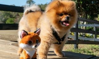 Pomeranian / Zwergspitz Q&A: Kosten, Pflege, Haare, Größe, Gewicht, Vorteile, Nachteile… Familie?!